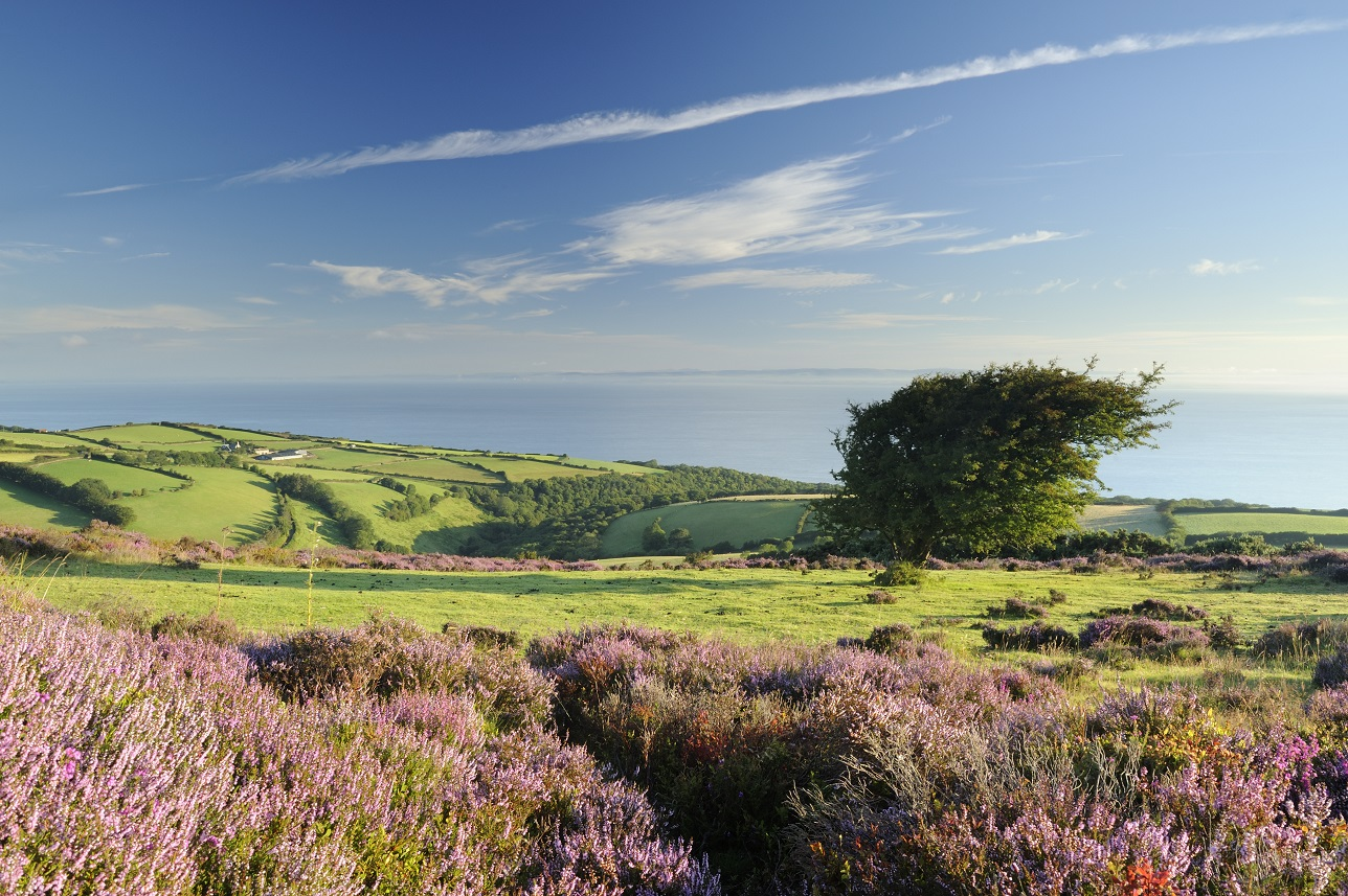Flowering heather, Calluna Vulgaris on Porlock Common on Exmoor. Views to the Devon coast and the Bristol Channel.