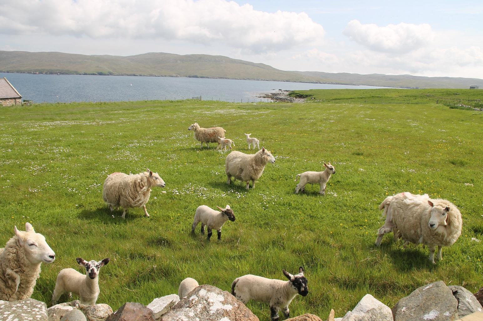 Volop lammetjes op de Shetlands