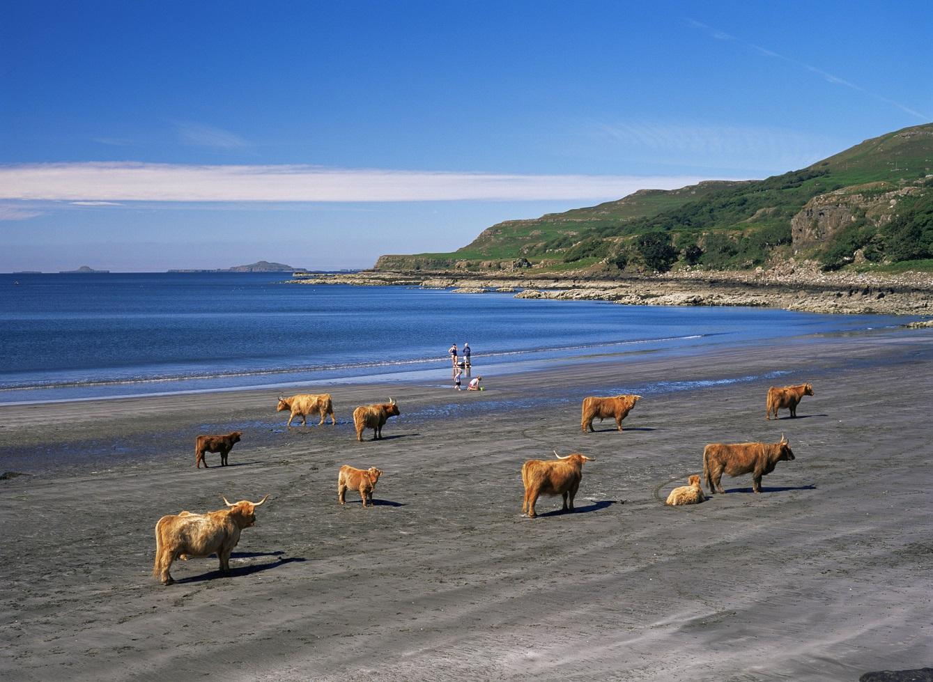 Koeien op het strand - alleen in Schotland!