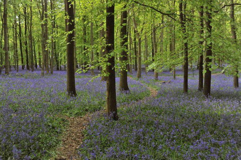 Bluebells - echte lentebloemen