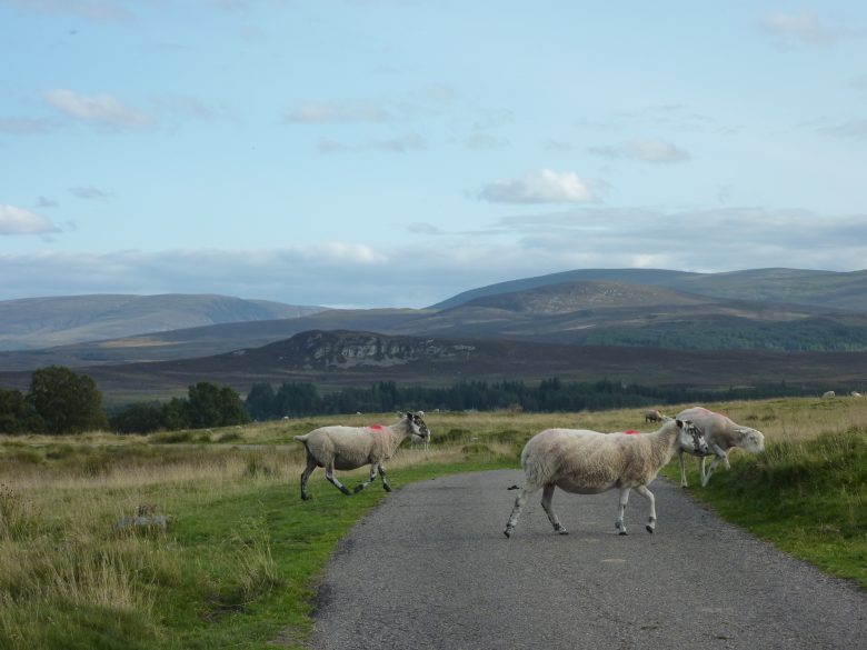 newtonmore sheeps