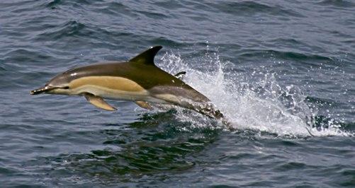 Dolfijnen in de Noordzee