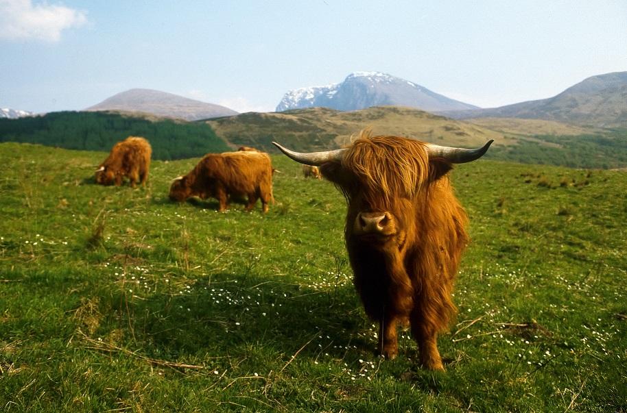 Highland Cow op de Ben Nevis