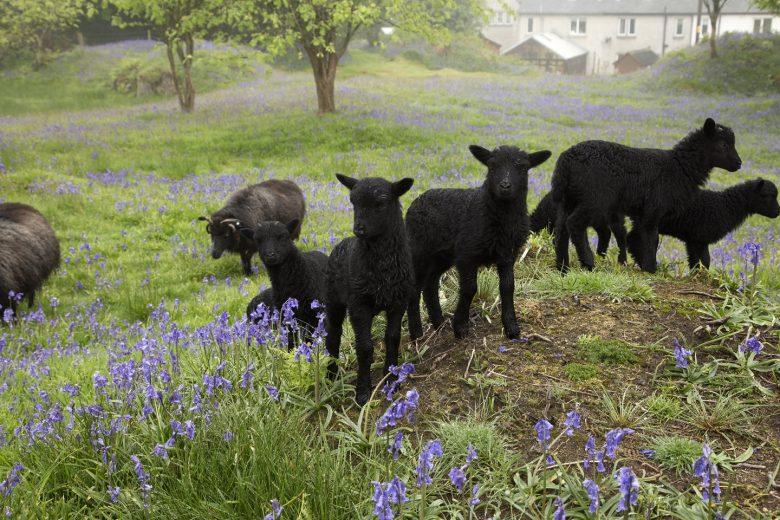 Lammetjes in Tarbert, Kintyre, Argyll.