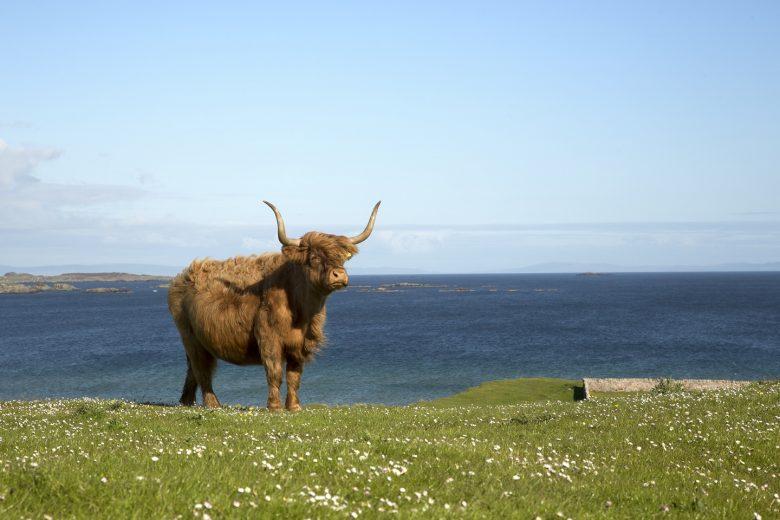 Highland Cow op het Isle of Islay